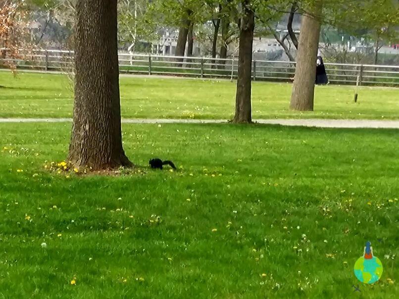 Veverițe negre în parcul de pe Goat Island