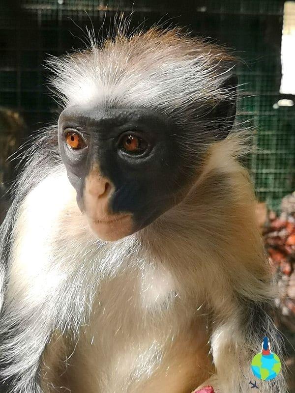 Maimuța Red Colobus - specie unică în Zanzibar