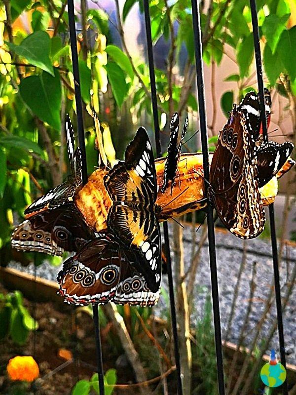 Fluturii mănâncă nectar